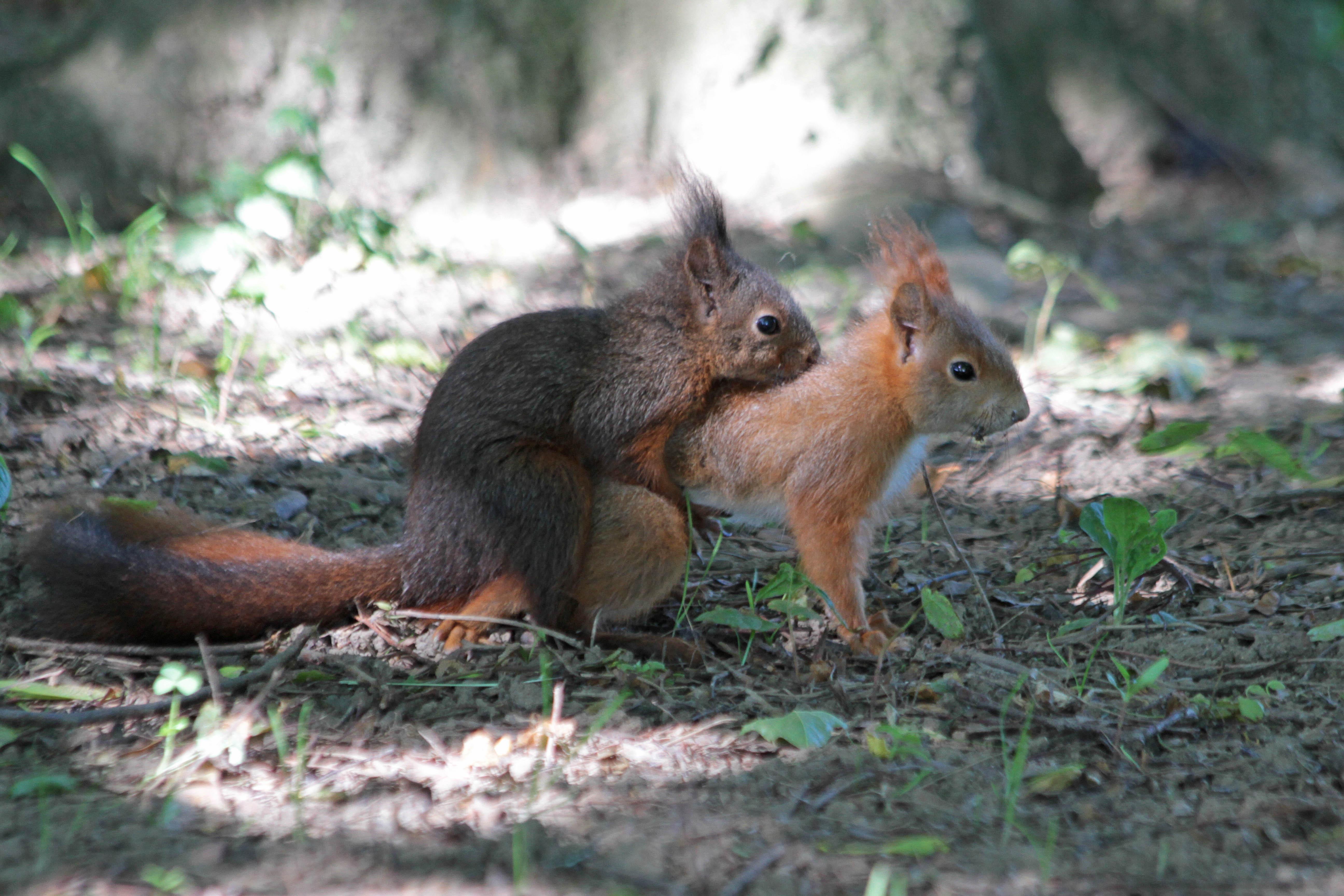 Image Écureuil reproduction de l'écureuil roux | biologie | Écureuil roux | les