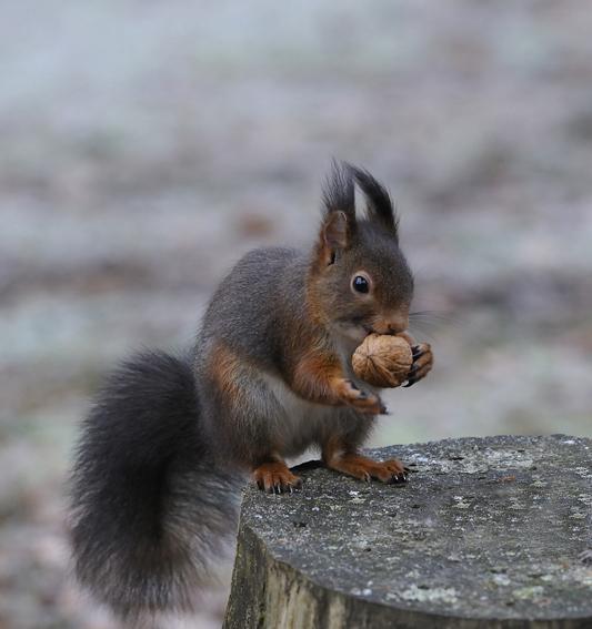 Image Écureuil comportement de l'écureuil roux | biologie | Écureuil roux | les