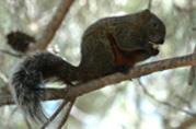 écureuil à ventre rouge