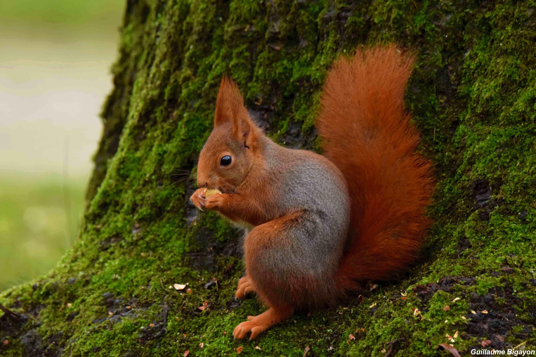 Morphologie De L écureuil Roux Biologie écureuil Roux
