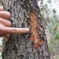 Trace d'écorcage par un écureuil à ventre rouge
