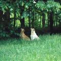 Chiens intéressés par des Tamia de Sibérie dans les arbres