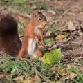 Écureuil roux avec une noisette en bouche
