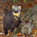 Martre, principal prédateur de l'écureuil roux