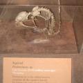 Fossile de l'ancêtre commun des écureuils.