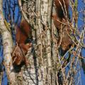 Course nuptiale entre deux écureuils roux