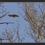 Ecureuil de Pallas