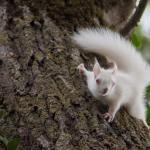 Ecureuil roux albinos