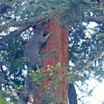 Ecureuil gris d'Amérique