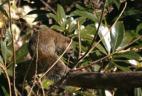 Ecureuil à ventre rouge