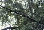 Écureuil de Pallas empruntant les cables téléphoniques.