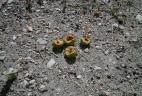 Pommes consommées par un tamia de Sibérie.