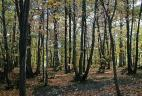 Taillis de châtaigner, Forêt domaniale de Meudon