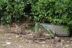 Un écureuil de Corée qui entre dans un piège.