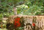 Un tamia de Sibérie décortique son alimentation sur une souche d'arbre