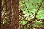 Écureuil de Corée, tamia de Sibérie