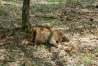 Souche d'arbre avec restes de repas d'écureuils