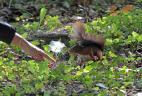 Ecureuil roux curieux mais inquiet face à un homme