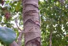 Traces de rongements par un écureuil à ventre rouge sur écorce d'arbre.