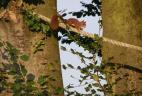 Un écureuil roux empruntant un écuroduc