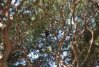 Nid d'Écureuil à ventre rouge dans un pin.