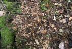 Reste de repas du tamia de Sibérie (graines de charme).