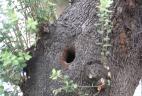 Cavité d'un arbre occupée par un Écureuil de Pallas.