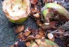 Fruits du Cyprès consommés par l'Écureuil à ventre rouge.