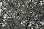 Écureuil à ventre rouge dans un olivier et consommant ses fruits.