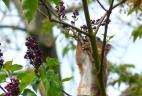 Écureuil roux consommant des fleurs de lilas.