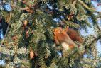 Écureuil roux se nourrissant de bourgeons de résineux.