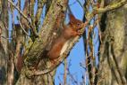 Écureuil roux consommant de l'écorce.