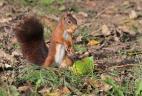 Écureuil roux avec une noisette en bouche.