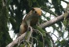 Écureuil à ventre rouge introduit en Argentine