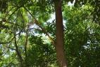 Traces d'écorçage de l'Écureuil à ventre rouge sur un arbre