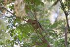 Écureuil à ventre rouge d'Argentine au pelage rouge-orangé