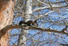 Écureuil roux au pelage marron foncé