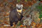Martre, prédateur principal de l'écureuil roux