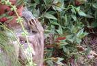 Funambule à cinq raies claires en Guadeloupe