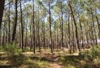 Forêt de pins dans les landes.