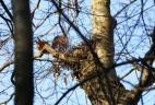 Écureuil roux a proximité de son nid.