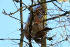 Écureuil transportant dans sa gueule des organes floraux pour son nid.