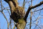 Petit nid d'écureuil constitué de branches et de mousse.