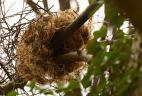 nid d'écureuil roux