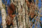 Poursuites amoureuses entre écureuils roux.
