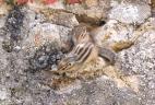deux écureuils de corée (tamias de sibérie) dans des rochers