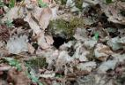 Terrier du tamia de Sibérie.