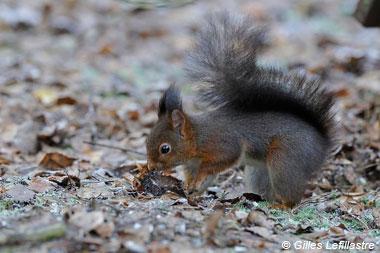 Écureuil roux par G. Lefillastre