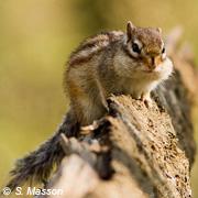 Écureuil de Corée
